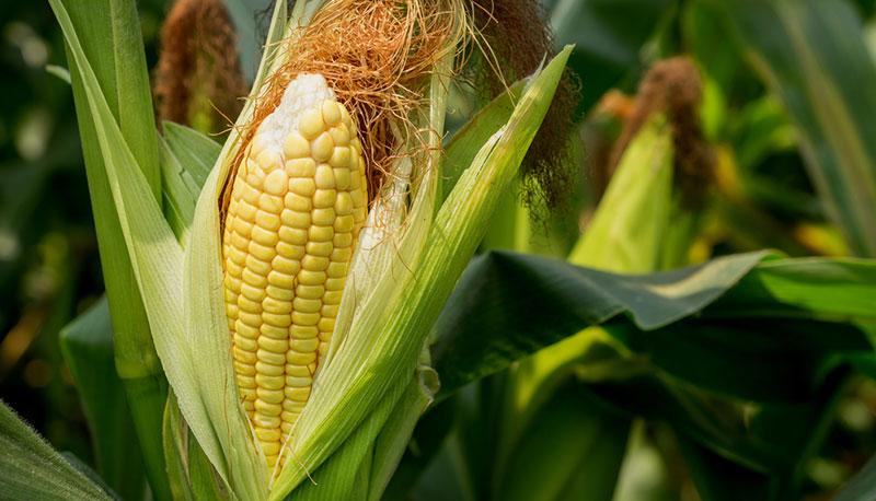 Pese a ley aprobada, la lucha por proteger el maíz no termina, advierte Jesusa Rodríguez<br>Foto